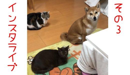 柴犬と猫とインスタライブ3【3月7日】めっちゃついてくるミクとお尻ペンペンの要求がすごいテトw